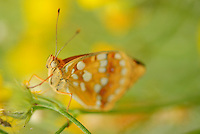 Fritillary butterfly, Melitea sp.,North Velebit National Park,  Velebit Nature Park, Rewilding Europe rewilding area, Velebit  mountains, Croatia