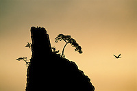A cormorant (Phalacrocorax sp.) flies near a cliff at sunrise.