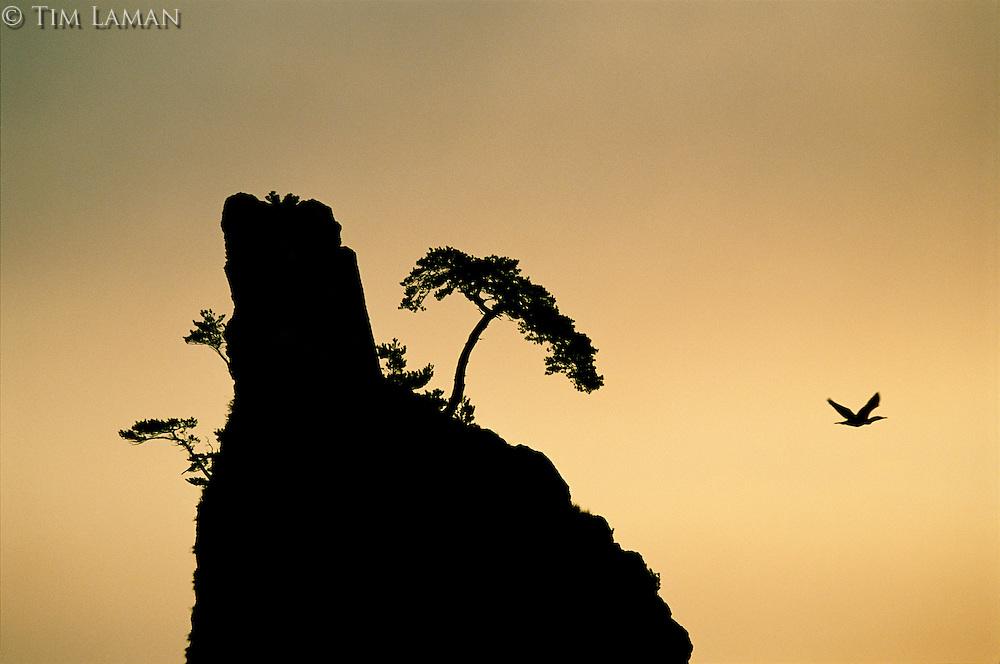 A cormorant (Phalacrocorax sp.) flies near a cliff at sunrise.