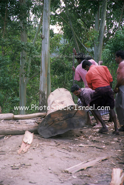 a group of men cutting logs of wood in a forest, India, Kerala, a state on the tropical coast of south west India