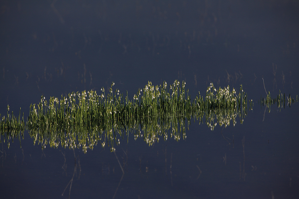 Summer snowflake (Leucojum aestivum) in a flooded area. Middle part of Livansko Polje -  karst plateau: he is arguably the largest karst field in the world. Ramsar site. May 2009. Bosnia-Herzegovina.<br /> Elio della Ferrera / Wild Wonders of Europe