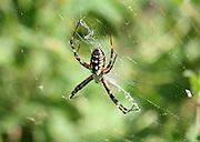 A Golden Orb (Garden) Weaver, Garden Spider waiting for prey in Jekyll Island Georgia wildflowers