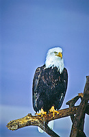 Bald Eagle (Haliaeetus leucocephalus) near Homer, Alaska.
