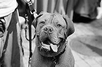Dogue de Bordeaux (French Mastiff)<br /> enjoying a beautiful summer day at Rittenhouse Square Park in Philadelphia, PA.