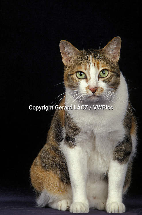 Japanese Bobtail Domestic Cat, Adult sitting against Black Background