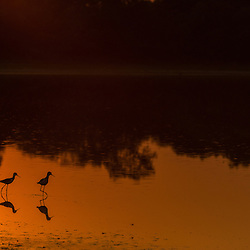Aquatic birds in a pond at sunset, Pantanal, Brazil.
