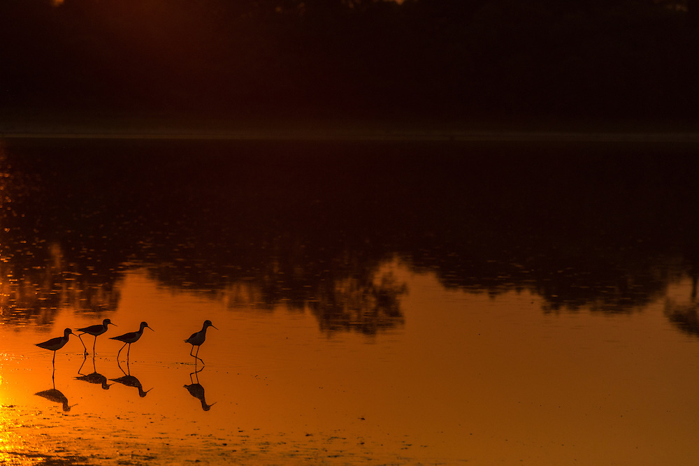 Aquatic birds in a pond at sunset, Pantanal, Brazil.