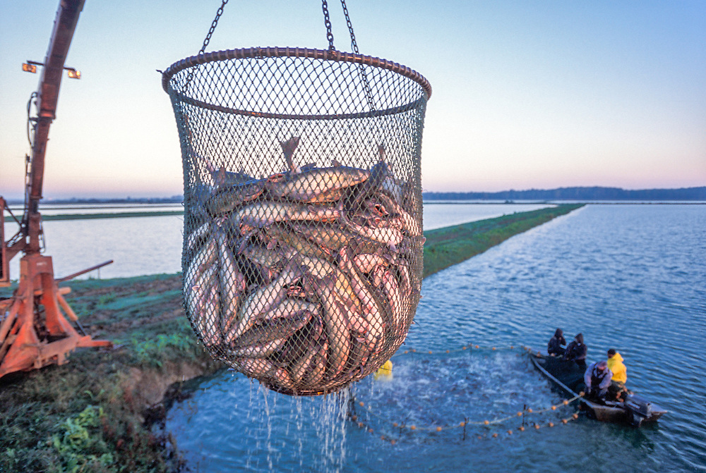 MISSISSIPPI, USA - Workers collect catfish in pond at  Silver Creek Plantation catfish farm during loading of fish