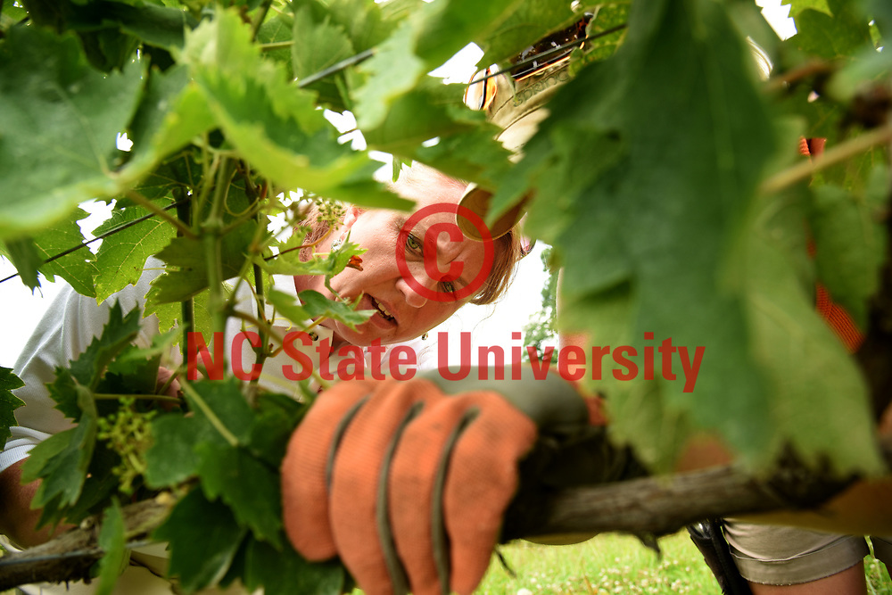 Surry County extension agent Joanna Radford looks over grape vines at Round Peak Vineyards.