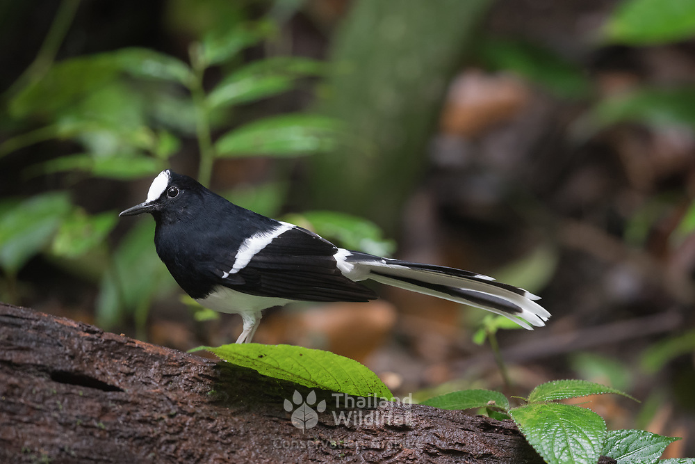 The white-crowned forktail (Enicurus leschenaulti) is a species of forktail in the family Muscicapidae.  A shy bird, the white-crowned forktail stays near water, and forages on the edges of rivers and streams for invertebrates.