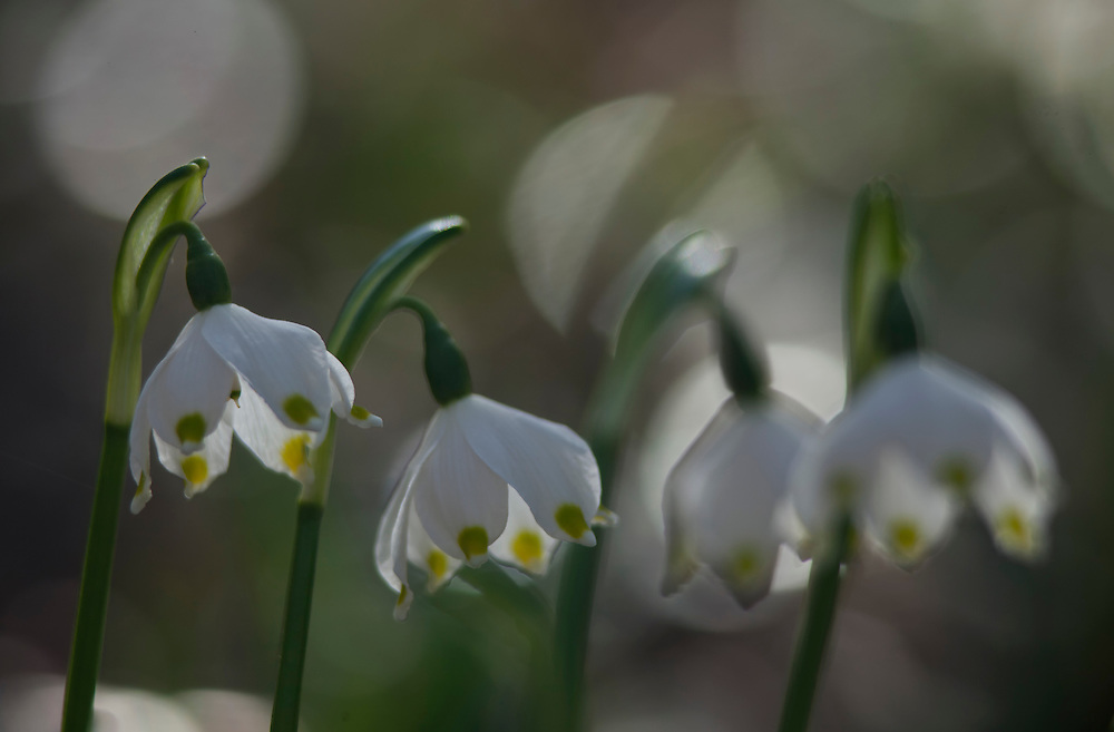 Spring snowflake, Leucojum vernum L., Haute- Loire, Auvergne, France