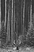 Rocky Mountain Elk