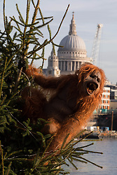 EDITORIAL USE ONLY An ultra-realistic animatronic orangutan climbs a 20ft Christmas Tree at Coin Street Observation Point, London to highlight the threat to the survival of the species due to deforestation caused by palm-oil production, following IcelandÕs Christmas advert being banned.