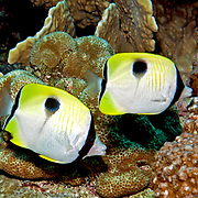 Teardrop Butterflyfish inhabit reefs. Picture taken Banda, Indonesia.