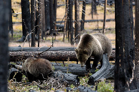 Grizzly Bear, (Ursus horribilis) A female and her cub foraging for plants near the road in Yellowstone National Park.Fall.