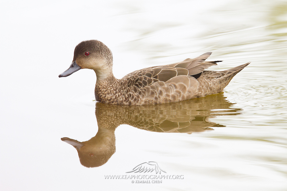 Grey Teal, New Zealand