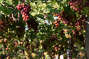 Montes Claros_MG, Brasil.<br /> <br /> Plantacao de uvas em Montes Claros, Minas Gerais.<br /> <br /> Growing grapes in Montes Claros, Minas Gerais.<br /> <br /> Foto: LEO DRUMOND / NITRO