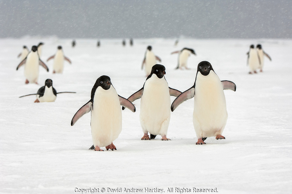 A medium sized group of Adelie penguins  (Pygoscelis adeliae)  with out-stretched flippers head back through a snow storm to their rookery, near Cockburn Island, Admiralty Sound, Antarctica