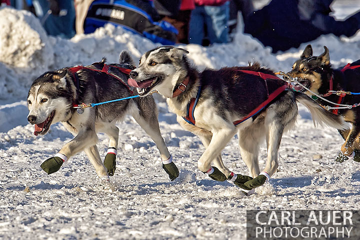 March 7th, 2009:  Anchorage, Alaska: The lead dogs of Jake Berkowitz of Anchorage, Alaska at the start of the 2009 Iditarod race.