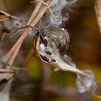 The silky seeds of the Common Milkweed (Asclepias syriaca)
