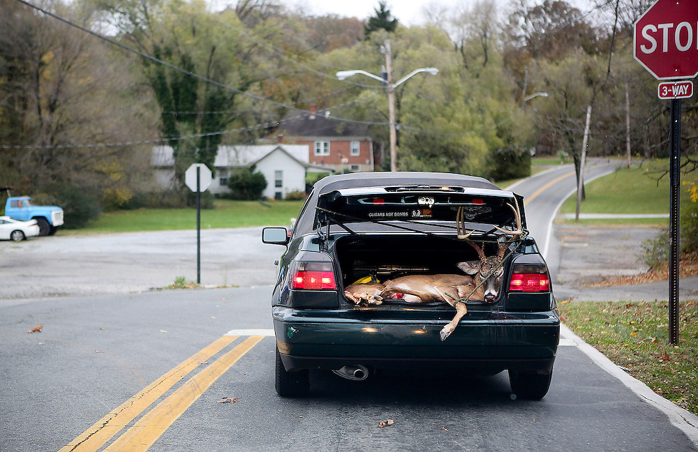 Kyle Green | The Roanoke Times<br /> 10/30/2012 A deer is transported in the trunk of a VW cabriolet on Yellow Mountain Road in Garden City on Tuesday.
