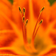 Close-up of the day Lily