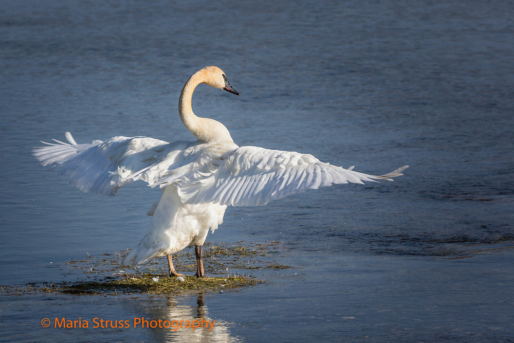 The trumpeter swan is the heaviest native North American bird.  The swan's wing span can reach 10 feet.  Due to their size and weight they require a long distance to become airborne. It breeds in wetlands from Alaska to the Northwest United States.