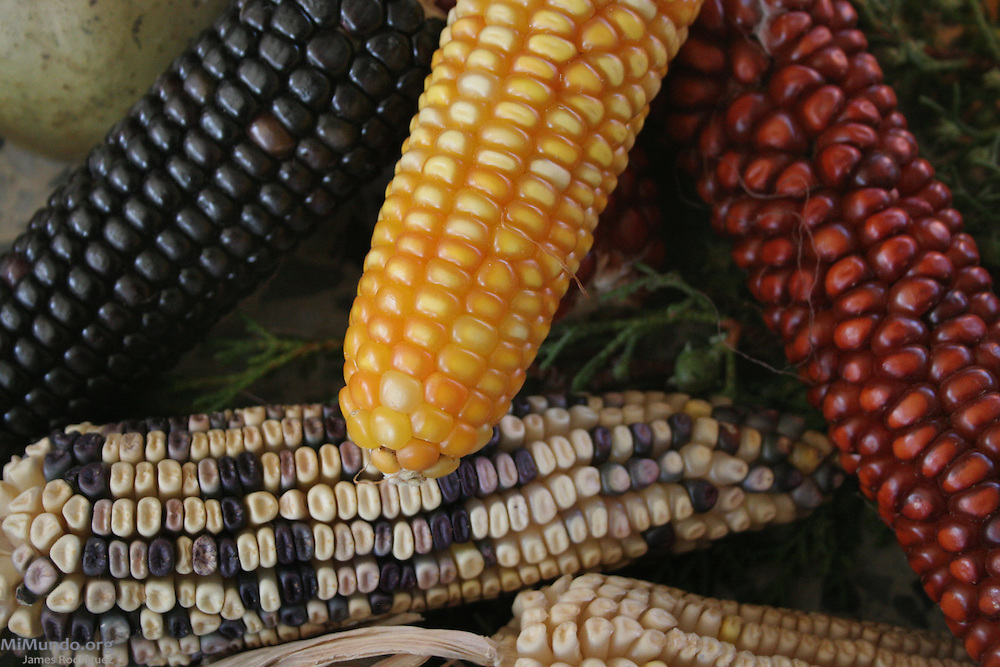 "Detail of an offering consisting of different types and colors of maize, or corn, during the First Meso-American Conference on Indian Theology. Titled ""For the Defense of the Spirit of our Mother Maize"", the conference has among its goals to collaborate in the defense of Maize and Mother Earth against mega projects through spirituality. Huehuetenango, Huehuetenango, Guatemala. April 2, 2008."