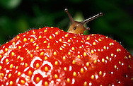 Deutschland, DEU, 2002: Eine Hain-Baenderschnecke (Capaea nemoralis) schaut hinter einer Erdbeere hervor. | Germany, DEU, 2002: Garden snail (Capaea nemoralis) looking behind a strawberry. |