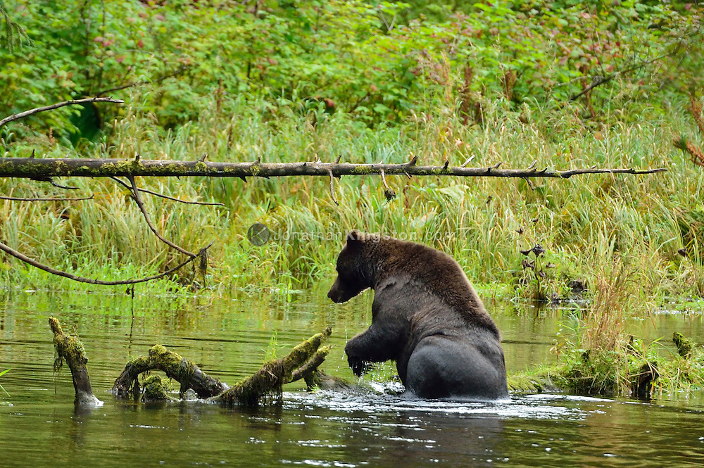 Grizzly bear swimming in a river near lake Eva on Baranof Island in Southeast Alaska.