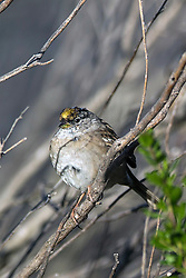 Golden-crowned Sparrow (Zonotrichia atricapilla), Palo Alto Baylands, Palo Alto, California, United States of America
