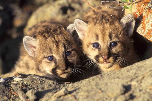 Mountain Lion or Cougar, (Felis concolor) Cubs. Rocky mountains. Montana.  Captive Animal.