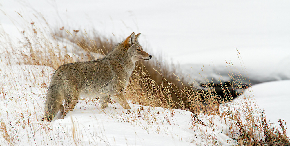 Coyotes alter their hunting techniques in accordance with the prey available. When hunting small animals under the snow in winter, they stalk their prey using their acute senses of smell and hearing. When the prey is located, the coyote dives into the snow, in a manner similar to that of the red fox. This coyote was seen searching for small rodents along Soda Butte Creek in Yellowstone Park.