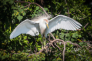 Cattle Egret stretching its wings on Ochsner Island, Louisiana, North America