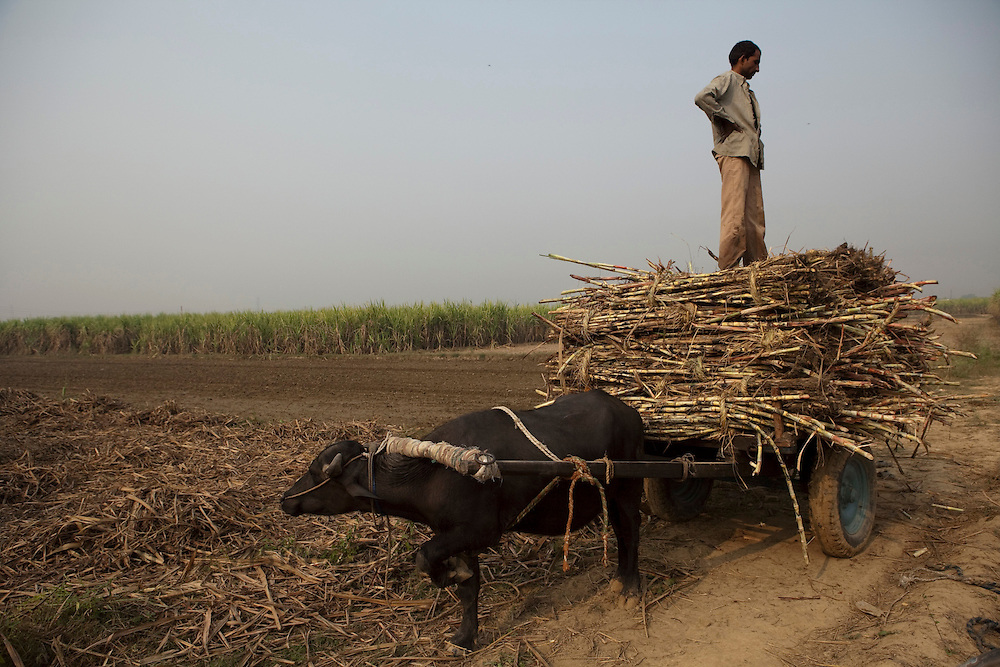 A farmer stands on cut sugar cane stalks loaded on a bullock cart in the outskirts of Modi Nagar, in Uttarpradesh, India, on Friday, November 12, 2010. Photographer: Prashanth Vishwanathan/Bloomberg News