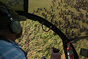 Helicopter & Buffalo (Syncerus caffer)<br /> Marromeu<br /> Eastern Mozambique, Africa<br /> Wild buffalo to be darted from helicopter for blood and Probang (throat scrape) samples to test for foot-and-mouth disease to prepare localized vaccines for regionally different foot-and-mouth strains.