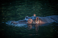 Hippo eyes and ears poke from the water of the St Lucia Estuary in South Africa.