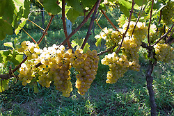 A uva Chardonay também e conhecida como aubaine, beaunois, melon blanc e pinot chardonnay. E usada na composicao do vinho champagne, como responsavel por seu aroma./ The Chardonnay grape itself is very neutral, with many of the flavors commonly associated with the grape being derived from such influences as terroir and oak. Chardonnay is an important component of many sparkling wines around the world, including Champagne. Ano/Year 2010.