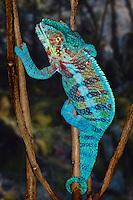 Panther Chameleon (Furcifer paradalis)
