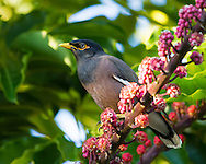 A common myna perches on a branch loaded with berries.  This rapidly expanding invasive species adapts extremely well to urban environments.