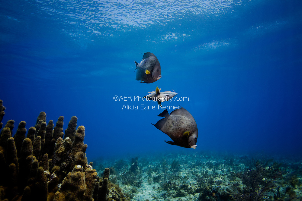 Florida Keys french angel fish underwater