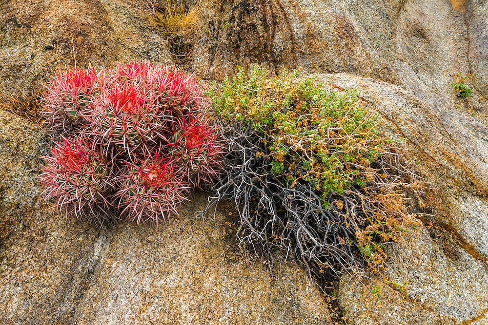 Barrel cactus in the Alabama Hills, Owen's Valley, California USA