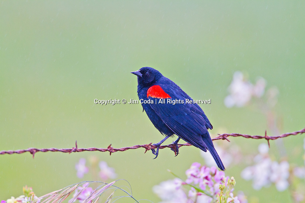 A Red-winged blackbird perches on a barbed wire in Point Reyes national Seashore.