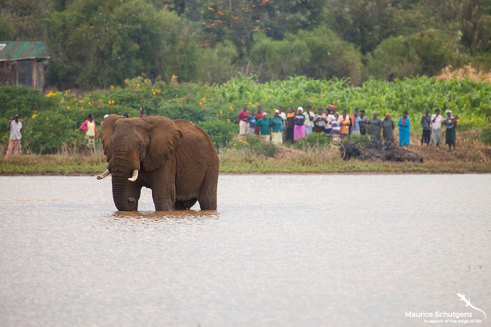 A bull elephant is trapped in a dam by an angry community after they spend a night crop raiding. THe reality of human elephant conflict in Kenya.