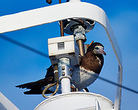 Brown Booby on the Mast of the MV World Odyssey. Image taken with a Nikon 1 V3 camera and 70-300 mm lens (ISO 200, 300 mm, f/5.6, 1/800 sec).