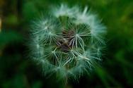 Detail of a dandelion
