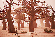Baobab trees in Dakar to St. Louis in Senegal, Africa.
