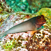 Redlip Blenny inhabit rocky inshore areas and shallow reef tops less than 30 ft. in Tropical West Atlantic; picture taken Tobago.