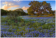 Bluebonnets (Lupinus texensis), live oak trees (Quercus virginiana), and white prickly poppies (Argemone albiflora v. texensis), Blanco County, TX / #HC229