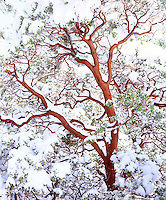 I emphasized the red bark in my photo by waiting until winter to shoot a snow covered manzanita bush in Cleveland National Forest